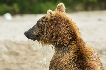 Portrait of a brown bear close up. Kurile Lake in Southern Kamchatka Wildlife Refuge in Russia. Stock Photo