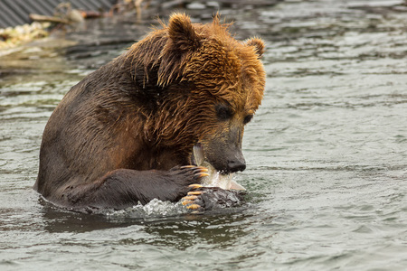 sopping: Brown bear eating fish caught in Kurile Lake. Southern Kamchatka Wildlife Refuge in Russia.