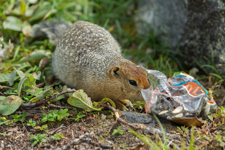 Arctic ground squirrel climbs in a package with seeds in Kamchatka.