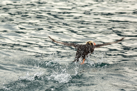 Tufted puffin scatter on the water for take-off. Stock Photo