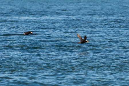 Tufted puffin fly with a fish in its beak over the Pacific Ocean. Stock Photo