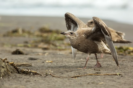 pacific ocean: Pacific Gull on the shore of the Pacific Ocean. Stock Photo