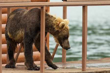 Young brown bear looks prey on fence to account for fish. Kurile Lake in Southern Kamchatka Wildlife Refuge.