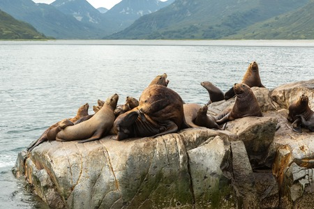 baby seal: Rookery Steller sea lions. Island in the Pacific Ocean near Kamchatka Peninsula.