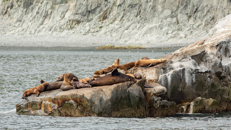 ecotourism: Rookery Steller sea lions. Island in the Pacific Ocean near Kamchatka Peninsula.