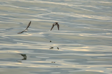 Calidrids or typical waders fly over the Pacific Ocean Stock Photo