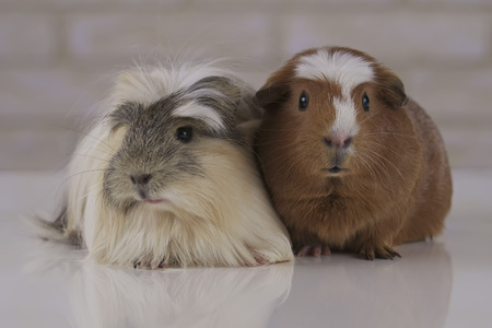 Beautiful Guinea pigs breed Golden American Crested and Coronet cavy Stock Photo