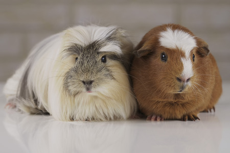 Beautiful Guinea pigs breed Golden American Crested and Coronet cavy 写真素材