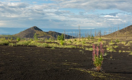 consequence: Chamerion angustifolium in Dead wood - a consequence of a catastrophic release of ash during the eruption of the volcano in 1975 Tolbachik