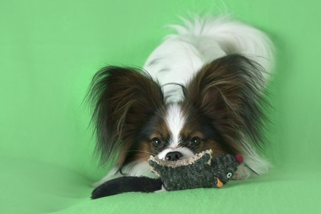 Beautiful young male dog Continental Toy Spaniel Papillon with plush toy on a green background