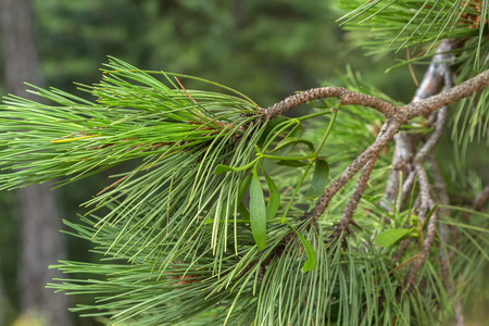 An alien plant grows on a pine branch. Sithonia Peninsula.