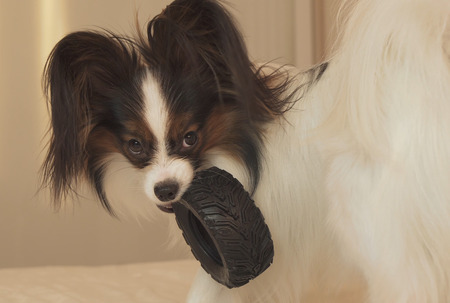 Young dog breeds Papillon Continental Toy Spaniel gnaws a rubber tire - a fun tire changer Stock Photo