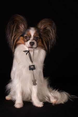 Beautiful dog Continental Toy Spaniel Papillon holds the key in the teeth from the new apartment on a black background, housewarming