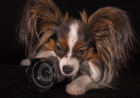 Beautiful dog Continental Toy Spaniel Papillon with camera on a black background