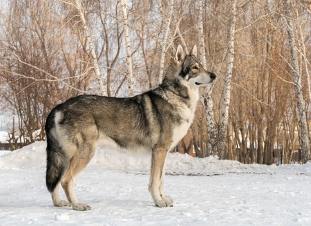 Beautiful male dog of Saarloos wolfhound in the winter park