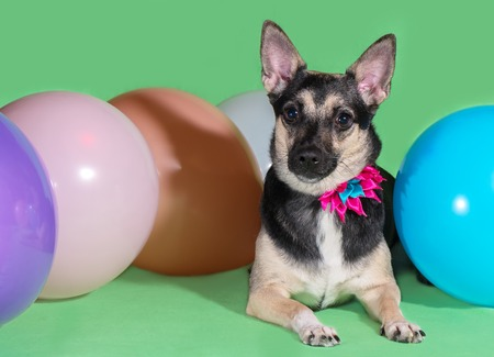 Funny dog mongrel with a bow on his neck among balloons on a green background Stock Photo