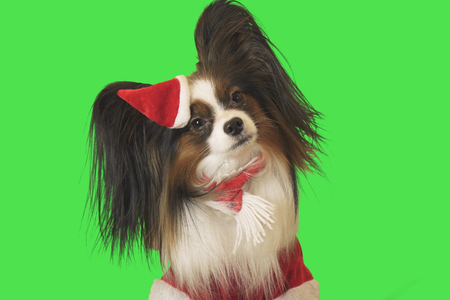 Beautiful dog Papillon in Santa Claus costume on a green background