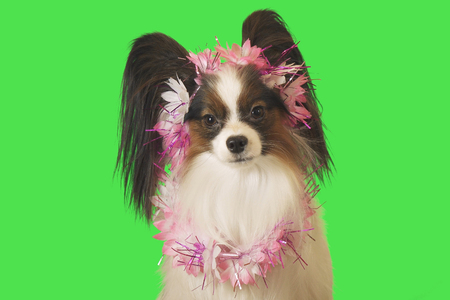 Beautiful dog Papillon in garland of flowers on a green background