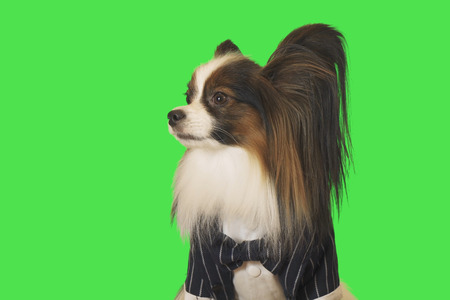 Beautiful dog Papillon in a business suit with bow tie on green background