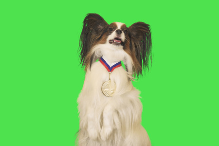 Beautiful dog Papillon with a medal for first place on the neck on green background Banque d'images