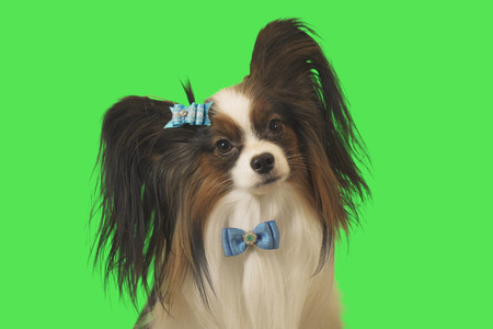 Beautiful dog Papillon with blue bow on a green background Stockfoto