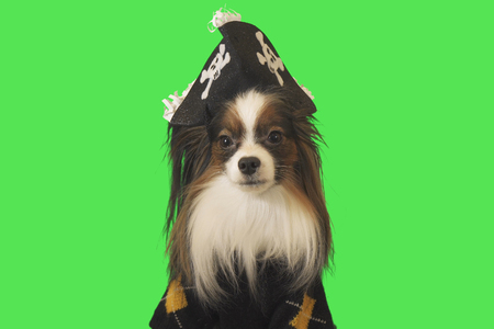 Beautiful dog Papillon in a pirate costume on green background