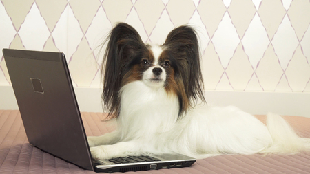 Papillon dog is lying near the laptop on the bed
