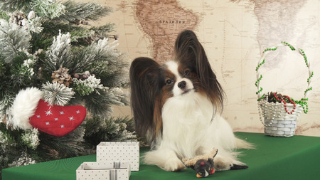 Papillon dog with soft toys near the Christmas tree