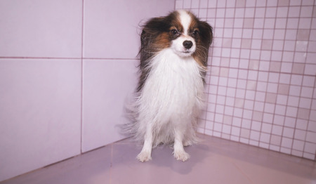 Papillon dog is blow dry after bathing in the bathroom