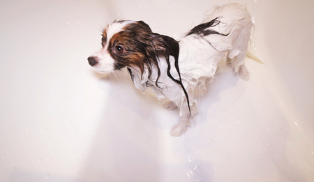 Shampooed Papillon dog is standing in the bathroom Stockfoto