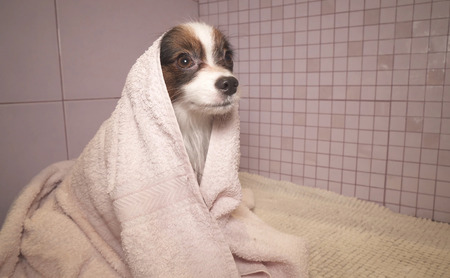 Papillon dog in a towel after bathing in the bathroom Фото со стока