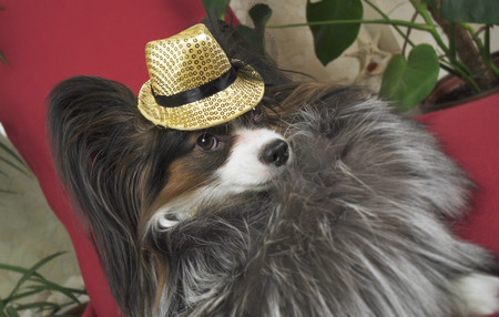 Papillon dog in a beautiful suit in a fur coat and a concert hat with a butterfly is removed in the clip