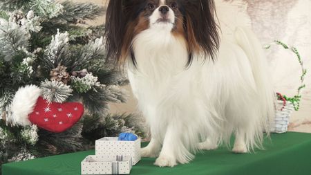 Papillon dog with gifts near the New Year tree