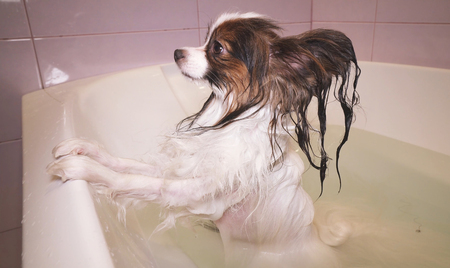 Wet funny Papillon dog stands in the bathroom Stockfoto