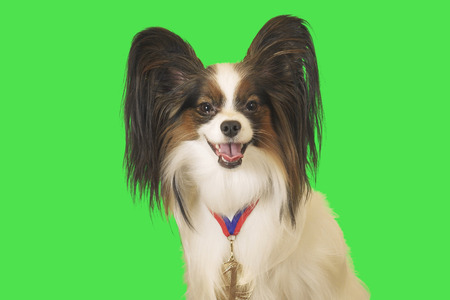 Beautiful dog Papillon with a medal for first place on the neck on green background Stockfoto