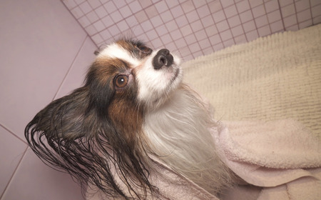 Papillon dog in a towel after bathing in the bathroom Stockfoto