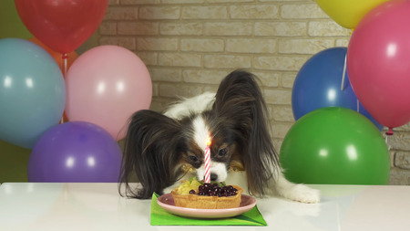 Fancy Dog Papillon eating birthday cake with a candle