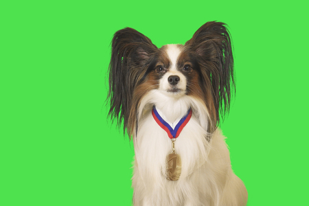 Beautiful dog Papillon with a medal for first place on the neck on green background Фото со стока