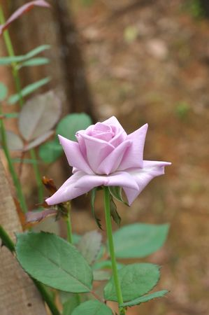 exceptionally: Purple Rose