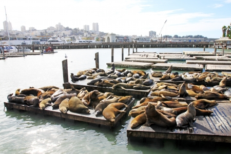 Leones marinos en el Pier 39, San Francisco, EE.UU. photo