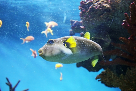 Puggerfish swimming in the submarine life photo