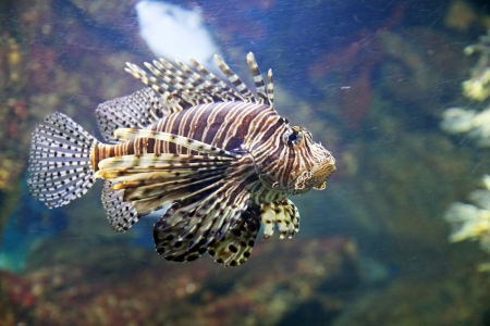 A scorpion fish is swimming in the deep water photo