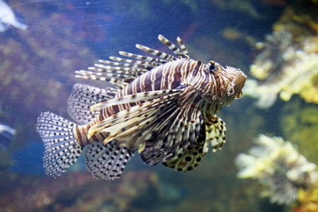 zebrafish: A scorpion fish os swimming in the deep water Stock Photo