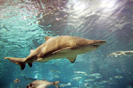 A grey shark is swimming in the deep water photo