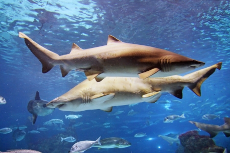 A grey shark is swimming in the reef with other fishes photo