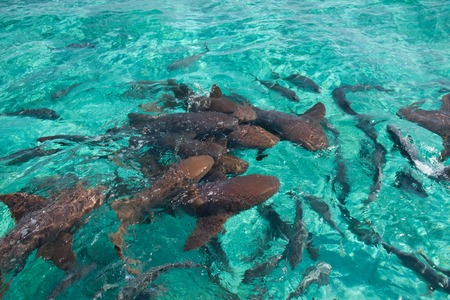 A group of nurse shark  photo