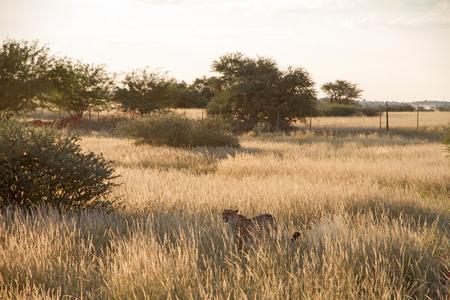 Cheetah in the savannah, Namibia photo