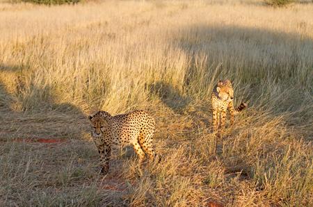 Couple of cheetahs in the savannah, Namibia photo
