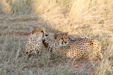 Cheetah in the savannah, Namibia photo