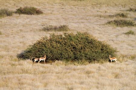springbuck: Some springbok eating in the grassland, Namibia Stock Photo